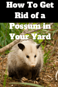 how to get rid of possum in your yard, How To Get Rid of a Possum in Your Yard
