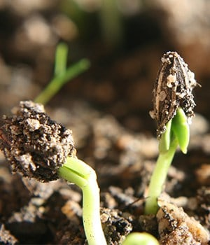 11. Poor germination rate