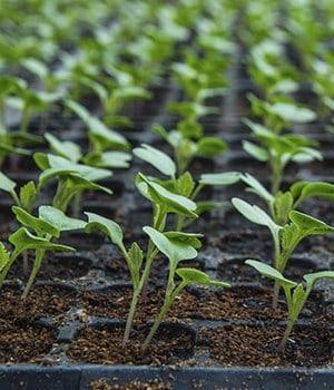 13. Seedlings Topple Over