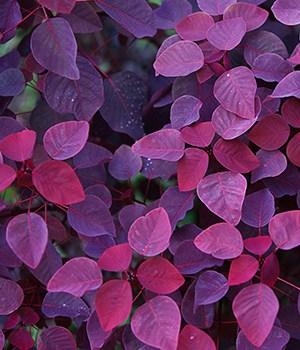15. Purple Leaves